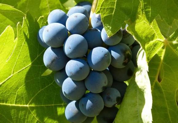 Todo lo que debes saber sobre la uva Garnacha